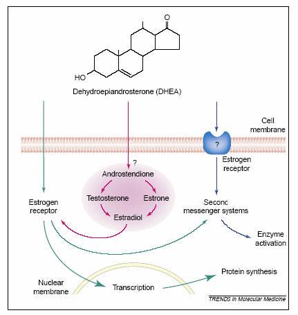 ciclo steroidi definizione calorie